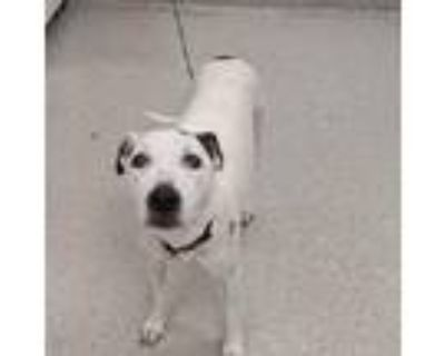 Adopt Everly a White American Pit Bull Terrier / Mixed dog in Indianapolis