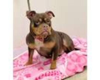 Adopt Pretty a Staffordshire Bull Terrier