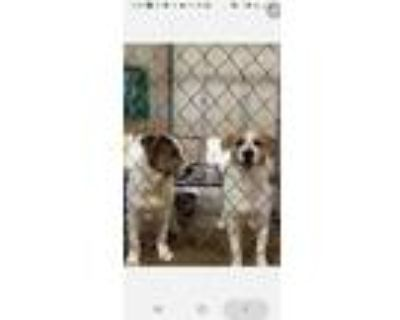 Adopt Gretel a White - with Tan, Yellow or Fawn Mixed Breed (Medium) / Mixed dog