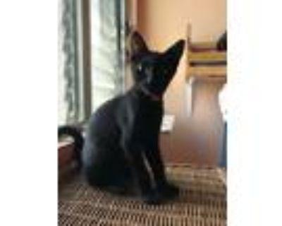 Adopt JB a Black (Mostly) Domestic Shorthair (short coat) cat in Mililani
