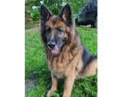 Adopt Merci a German Shepherd Dog, Belgian Shepherd / Tervuren