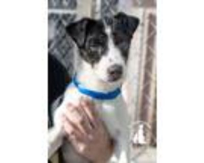 Adopt Jace a Jack Russell Terrier