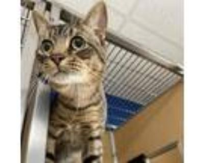 Adopt Mr. Monk a Brown or Chocolate Domestic Shorthair / Mixed cat in