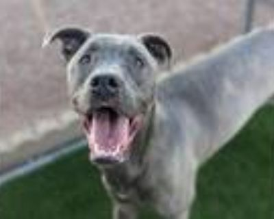 Adopt Baloo - Phoenix area (COURTESY POST) a Pit Bull Terrier