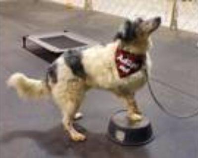 Adopt Gunner a Merle Australian Shepherd / Great Pyrenees / Mixed dog in Auburn