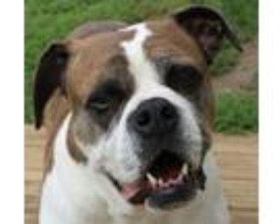 Adopt Avis a Boxer, Mixed Breed