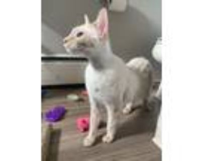 Adopt Remy Houston Link-Oberstar a Domestic Short Hair