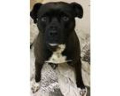 Adopt Soldier a Black - with White Pit Bull Terrier / Mixed dog in Loudon