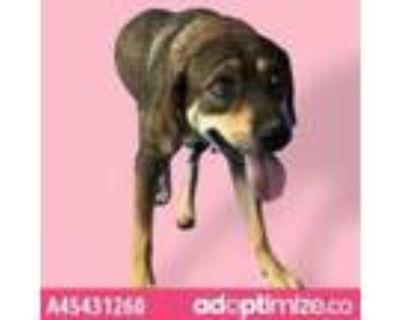 Adopt Bailey a Brown/Chocolate Labrador Retriever / Mixed dog in El Paso