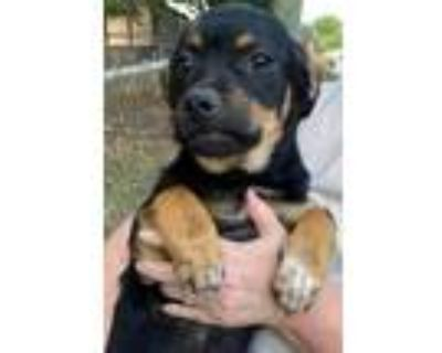 Adopt Parker a Black Pug / Beagle / Mixed dog in Chester Springs, PA (31675006)