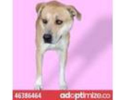 Adopt 46386464 a Tan/Yellow/Fawn Labrador Retriever / Mixed dog in El Paso