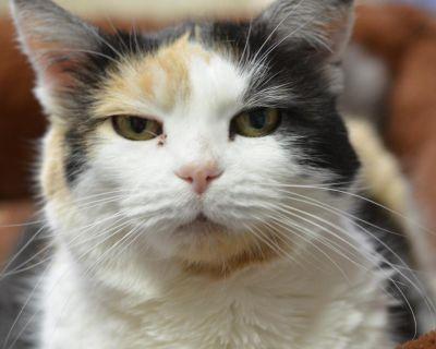 Edith - Domestic Shorthair - Senior Female