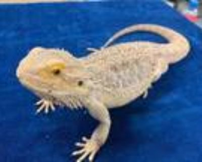 Adopt Mona a Lizard / Mixed reptile, amphibian, and/or fish in Boulder