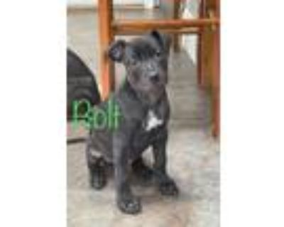 Adopt Bolt Bella litter of 9 a Black - with White Pit Bull Terrier / Labrador