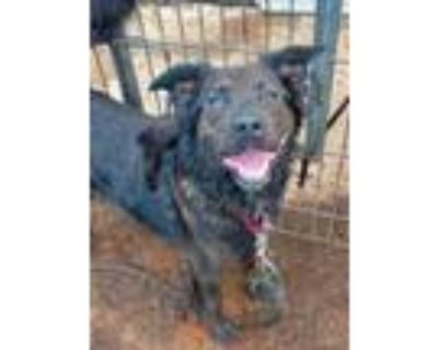 Adopt Dingo a Black Retriever (Unknown Type) / Mixed dog in Anderson