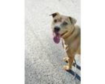 Adopt Princess a Tan/Yellow/Fawn Labrador Retriever / Beagle / Mixed dog in
