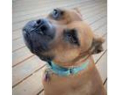 Adopt Bubbles a Red/Golden/Orange/Chestnut American Pit Bull Terrier / Boxer /