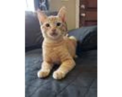 Adopt Jack a Orange or Red Domestic Shorthair / Mixed cat in Fremont