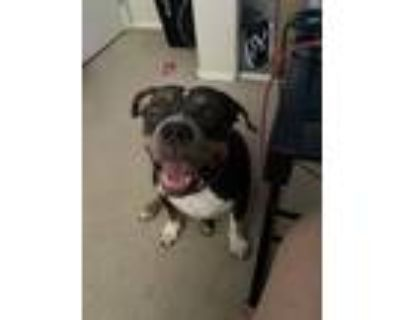 Adopt Fergie a Tricolor (Tan/Brown & Black & White) American Pit Bull Terrier /