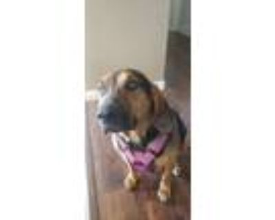 Adopt Anni a Black - with Tan, Yellow or Fawn Black and Tan Coonhound / Mixed