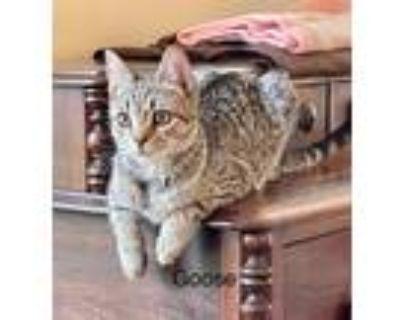 Adopt Goose & Vega- Bonded Pair a Domestic Mediumhair / Mixed cat in Rockville