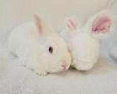 Adopt Summer Cloud a White Florida White / Mixed (short coat) rabbit in Culver