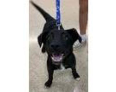 Adopt Darlene a Labrador Retriever / Mixed dog in Claremore, OK (30960251)