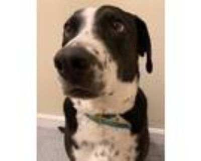 Adopt Kenny Rogers a Black - with White Labrador Retriever / Great Dane / Mixed