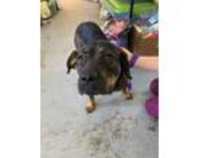 Adopt Ellie a Black Rottweiler / German Shepherd Dog / Mixed dog in Morton