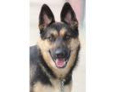 Adopt Inez von Isselburg a Black - with Tan, Yellow or Fawn German Shepherd Dog
