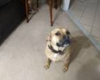 Adopt MAX a Tan/Yellow/Fawn - with White Great Dane / Boxer / Mixed dog in