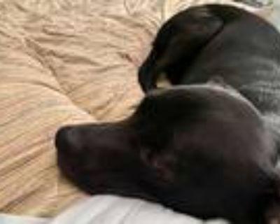 Adopt Luna a Black Retriever (Unknown Type) / Terrier (Unknown Type