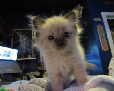 kittens for sale angora/ragdoll