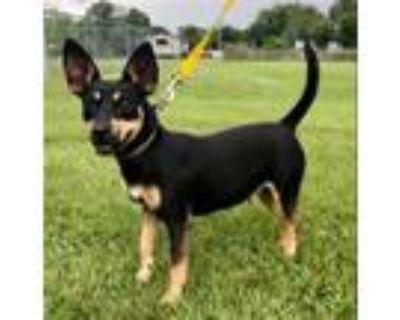 Adopt JOELLA a Miniature Pinscher, Rat Terrier