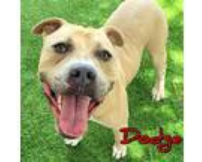 Adopt DODGE a Tan/Yellow/Fawn - with White American Pit Bull Terrier / Mixed dog