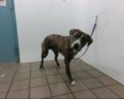 Adopt PABLO a Pit Bull Terrier, Mixed Breed
