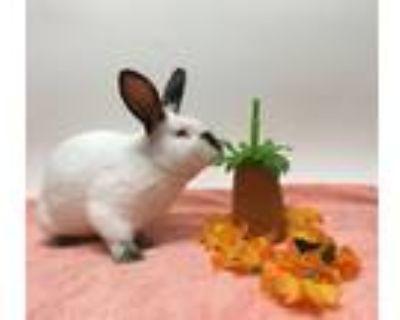 Adopt ANPAN a Bunny Rabbit