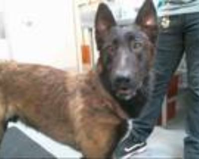 Adopt MAX a Brown/Chocolate - with Black Belgian Malinois / Mixed dog in