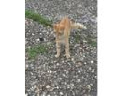 Adopt Duke a Orange or Red Domestic Shorthair / Mixed (short coat) cat in North