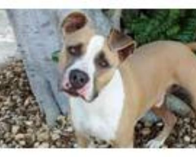Adopt CHAPO a Tan/Yellow/Fawn - with White American Pit Bull Terrier / Mixed dog