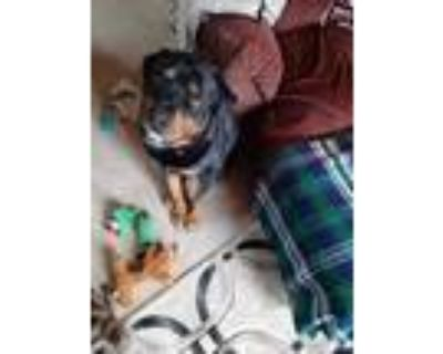 Adopt Phineas a Black - with Tan, Yellow or Fawn Rottweiler / Mixed dog in