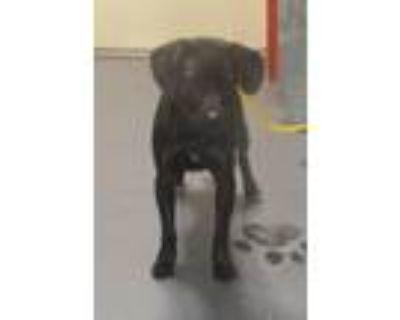 Adopt 21-06-1480 Oliver a Labrador Retriever / Mixed dog in Dallas