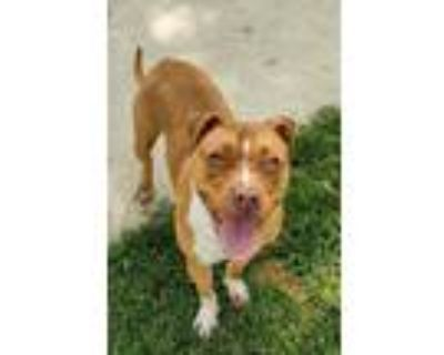 Adopt Lola a Pit Bull Terrier