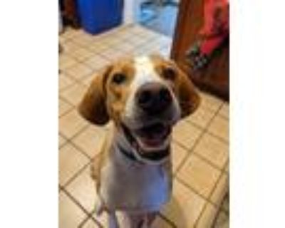 Adopt Elliot a Tan/Yellow/Fawn - with White Treeing Walker Coonhound / Mixed dog
