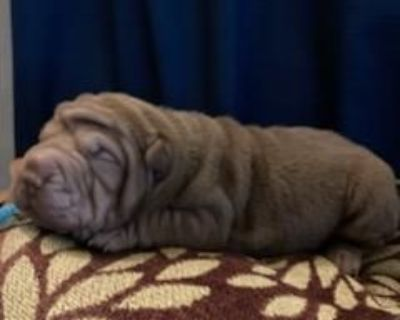 Ch. Sire Chinese Shar-Pei Puppies