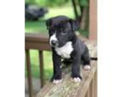 Adopt Shawty a Black - with White American Pit Bull Terrier / Labrador Retriever
