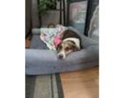 Adopt CoCo a Brown/Chocolate - with White Beagle / Jack Russell Terrier / Mixed