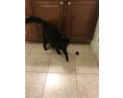 Adopt Felix a Black (Mostly) Domestic Mediumhair / Mixed (medium coat) cat in