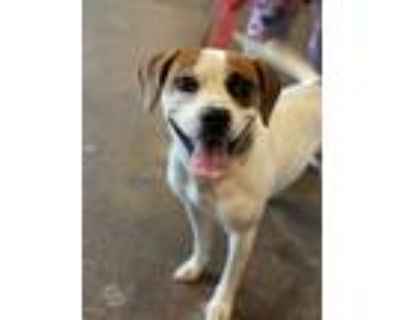 Adopt Bruce Almighty a White - with Brown or Chocolate Beagle / Mixed dog in