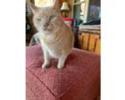 Adopt George a Domestic Shorthair / Mixed cat in Somers, CT (30366969)